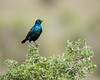A Cape glossy starling (Lamprotornis nitens). Taken in Addo Elephant National Park, South Africa, Africa.