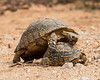 A larger male leopard tortoise (Geochelone pardalis) attempts to mate with the smaller female. Taken in Addo Elephant National Park, South Africa, Africa.