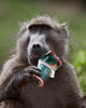 """Naughty Baboon""<br /> <br /> We were about to walk out to the Main Caves area of Giant's Castle in the Drakensburg region of South Africa. I spotted this chacma baboon (Papio ursinus) right next to the parking area, rooting through a trash can. He then unveiled a prized cup of yogurt."