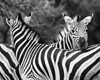"""""""Mutual Headrests""""<br /> <br /> Plains zebra (Equus quagga) resting their heads on each other. They tend to do this a lot. Taken in the Imfolozi Game Reserve, South Africa, Africa."""