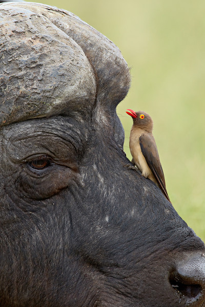 """Seeing Eye to Eye""<br /> <br /> A red-billed oxpecker (Buphagus erythrorhynchus) on a cape buffalo (Syncerus caffer). The cape buffalo is also known as the African buffalo and is one of the Big Five. Taken in the Imfolozi Game Reserve, South Africa, Africa."
