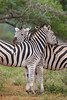 Plains zebra (Equus quagga) resting their heads on each other. Taken in the Imfolozi Game Reserve, South Africa, Africa.