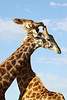 """""""Push and Shove""""<br /> <br /> Two South African giraffe (Giraffa camelopardalis giraffa) males sparring. Taken in the Imfolozi Game Reserve, South Africa, Africa."""