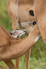 """""""Nothing Sweeter Than a Nursing Infant""""<br /> <br /> Of any species! This is a young impala (Aepyceros melampus) nursing. Taken in Imfolozi Game Reserve, South Africa, Africa."""