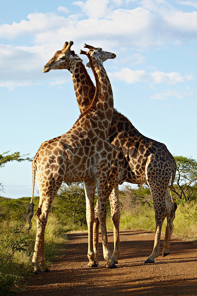 Two South African giraffe (Giraffa camelopardalis giraffa) males sparring. Taken in the Imfolozi Game Reserve, South Africa, Africa.