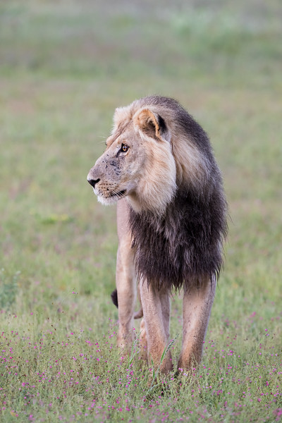 An African lion (Panthera leo) standing in wildflowers. Taken in Kgalagadi Transfrontier Park, South Africa, Africa.