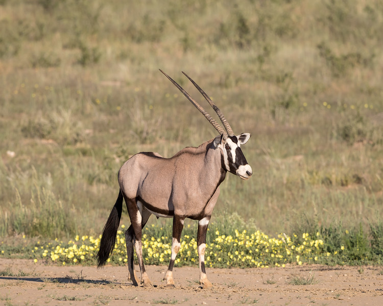 A gemsbok or South African oryx (Oryx gazella) in front of wildflowers. Taken in Kgalagadi Transfrontier Park, South Africa, Africa.