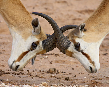 """Fighting Springbok"""