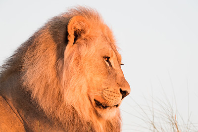 """Very First Light on a Mature Lion"""