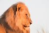 """""""Very First Light on a Mature Lion"""""""
