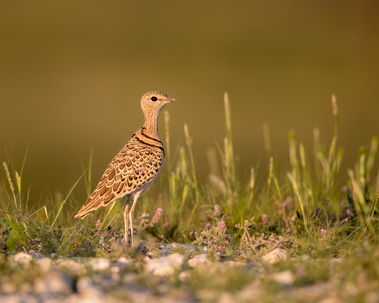 A double-banded courser (Smutsornis africanus). Taken in Kgalagadi Transfrontier Park, South Africa, Africa.