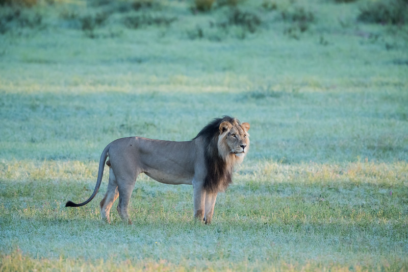 A male African lion (Panthera leo). Taken in Kgalagadi Transfrontier Park, South Africa, Africa. The species is listed as vulnerable on the IUCN Red List of Threatened Species at iucnredlist.org.