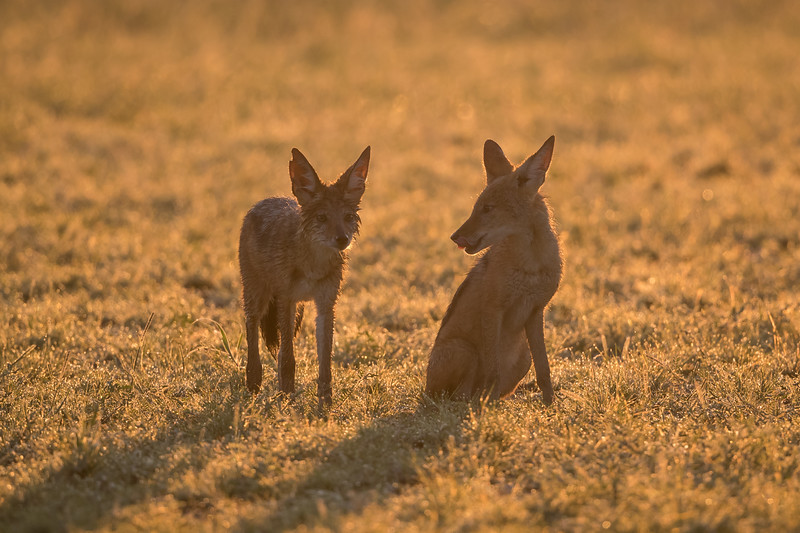 Two black-backed jackals (Canis mesomelas) at sunrise in the dew-covered grasses. Taken in Kgalagadi Transfrontier Park, South Africa, Africa.