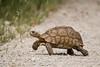 A leopard tortoise (Geochelone pardalis). Taken in Kgalagadi Transfrontier Park, South Africa, Africa.