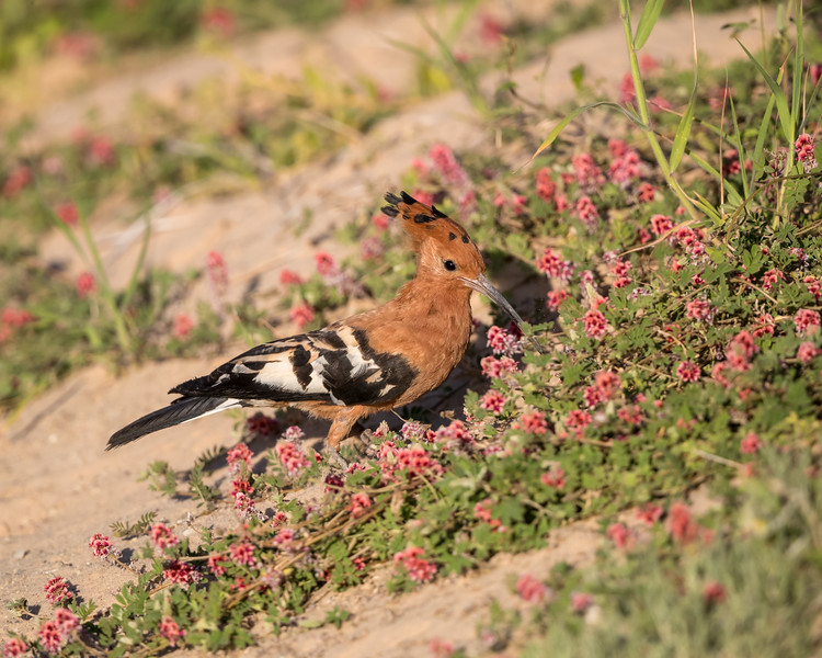 An African hoopoe (Upupa africana) in wildflowers. Taken in Kgalagadi Transfrontier Park, South Africa, Africa.