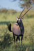 A gemsbok or South African oryx (Oryx gazella). Taken in Kgalagadi Transfrontier Park, South Africa, Africa.