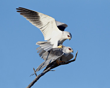 """Mating Black-Shouldered Kite Pair""  A male and female black-shouldered kite (Elanus caeruleus) pair mate atop a perch. We were originally all set up to photograph the female, and had no idea the male was nearby. He flew in and they proceeded to mate. Thankfully, I didn't have too much lens for both of them together in the frame! Taken in Kgalagadi Transfrontier Park, South Africa, Africa. The perch was a bit messy to the left and right of the pair, so I did some cloning."