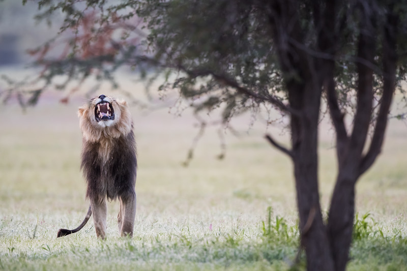 A male African lion (Panthera leo) exhibits the flehmen response, after his mate left her scent in the air nearby. Taken in Kgalagadi Transfrontier Park, South Africa, Africa. The species is listed as vulnerable on the IUCN Red List of Threatened Species at iucnredlist.org.