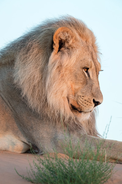 An African lion (Panthera leo) at sunrise. Taken in Kgalagadi Transfrontier Park, South Africa, Africa.
