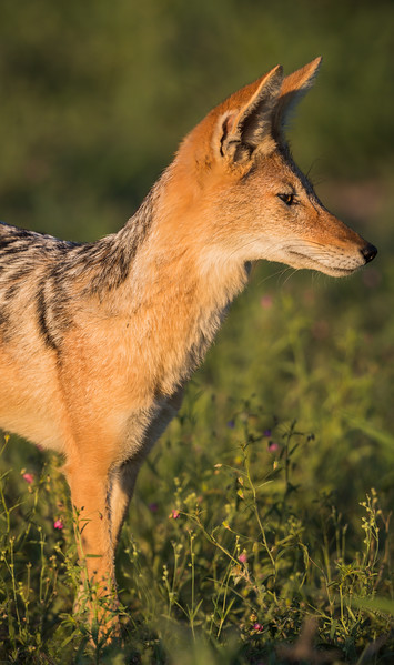 A black-backed jackal (Canis mesomelas) stands at alert. Taken in Kgalagadi Transfrontier Park, South Africa, Africa.