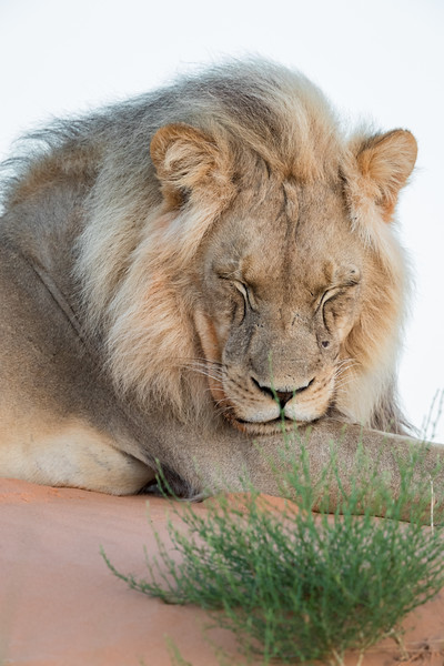 A sleepy African lion (Panthera leo) just before sunrise. Taken in Kgalagadi Transfrontier Park, South Africa, Africa.