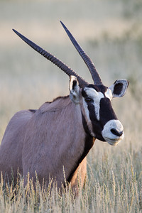 """Oryx In Grasses""  One of the larger species of horned mammals in Africa, a gemsbok or South African oryx (Oryx gazella). Taken in Kgalagadi Transfrontier Park, South Africa, Africa."