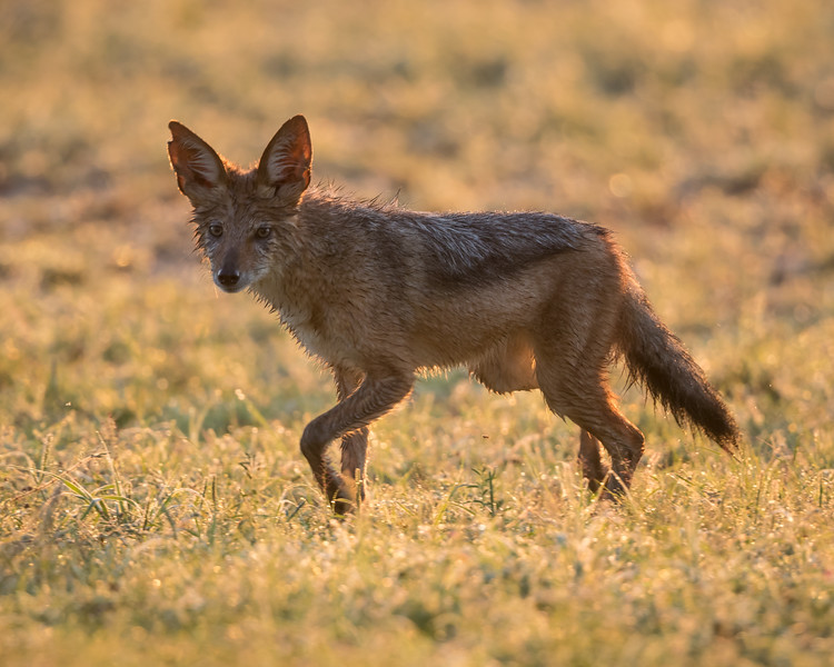 A black-backed jackal (Canis mesomelas) makes its way across a field. Taken in Kgalagadi Transfrontier Park, South Africa, Africa.