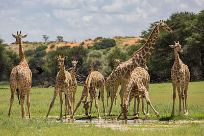 """The Giraffe Gathering"""