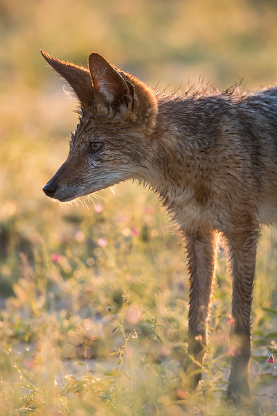 A black-backed jackal (Canis mesomelas) in wildflowers. Taken in Kgalagadi Transfrontier Park, South Africa, Africa.
