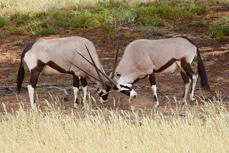 """Battle of the Gemsbok""<br /> <br /> Two gemsbok or South African oryx (Oryx gazella) males fighting. Taken in Kgalagadi Transfrontier Park, South Africa, Africa."