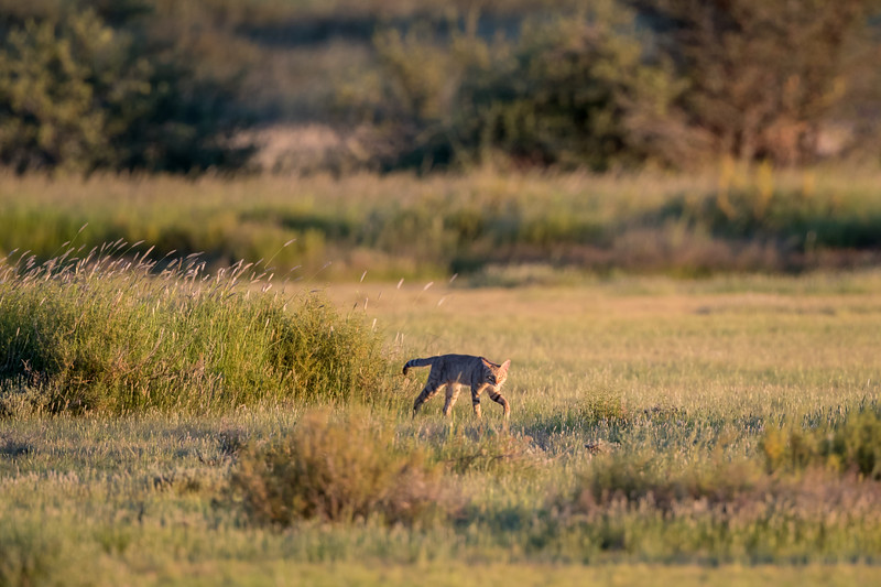 An African wild cat (Felis silvestris lybica). Taken in Kgalagadi Transfrontier Park, South Africa, Africa.