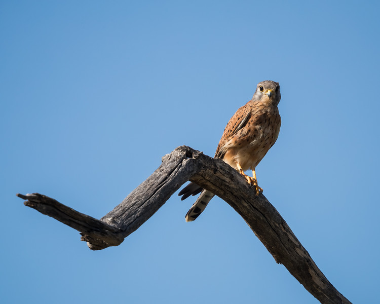 A common kestrel (Falco tinnunculus). Taken in Kgalagadi Transfrontier Park, South Africa, Africa.