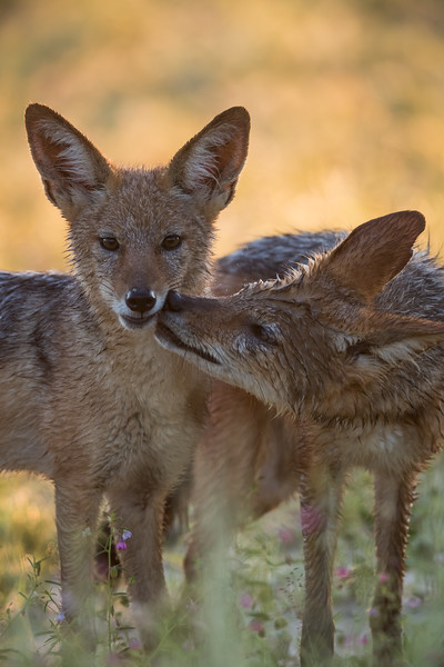 A black-backed jackal (Canis mesomelas) mother grooms her youngter. Taken in Kgalagadi Transfrontier Park, South Africa, Africa.
