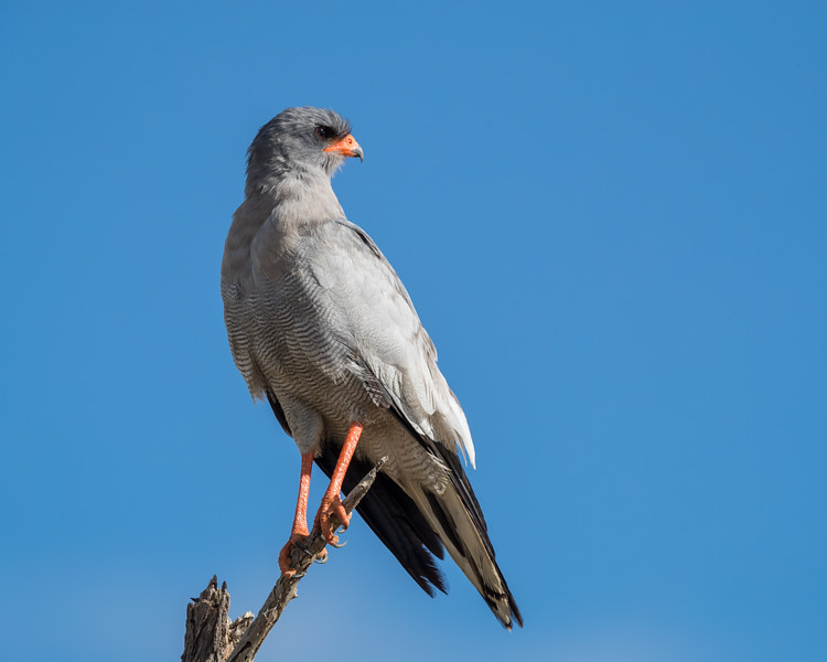 A southern pale chanting goshawk (Melierax canorus). Taken in Kgalagadi Transfrontier Park, South Africa, Africa.