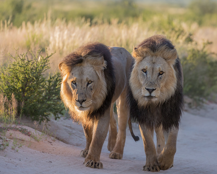 The elder male African lions (Panthera leo) in the Kalahari desert have really black manes. Taken in Kgalagadi Transfrontier Park, South Africa, Africa.  The species is listed as vulnerable on the IUCN Red List of Threatened Species at iucnredlist.org.