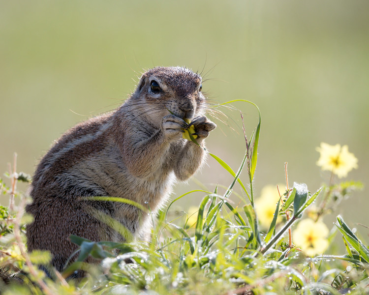 A cape ground squirrel (Xerus inauris) stands in  a field of wildflowers known as yellow vine (Tribulus terrestris), while eating the flowers. Taken in Kgalagadi Transfrontier Park, South Africa, Africa.