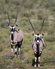 Two male gemsbok (Oryx gazella), also known as the South African oryx. Taken in Kgalagadi Transfrontier Park, South Africa, Africa.