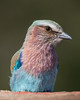 A lilac-breasted roller (Coracias caudata). Taken in Kruger National Park, South Africa, Africa.