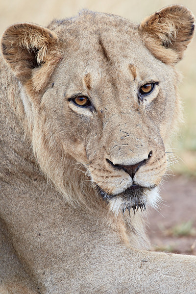 A lioness (Panthera leo) portrait. Taken in Kruger National Park, South Africa, Africa.