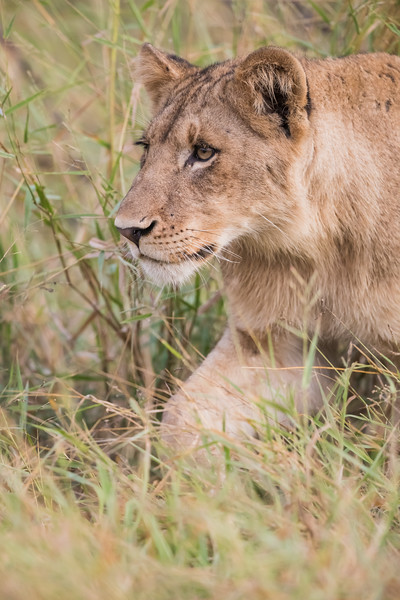 A young African lion (Panthera leo). Taken in Kruger National Park, South Africa, Africa. The species is listed as vulnerable on the IUCN Red List of Threatened Species at iucnredlist.org.