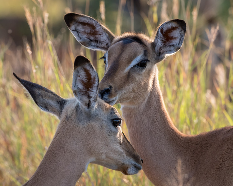 An impala (Aepyceros melampus) grooming another. Taken in Kruger National Park, South Africa, Africa.