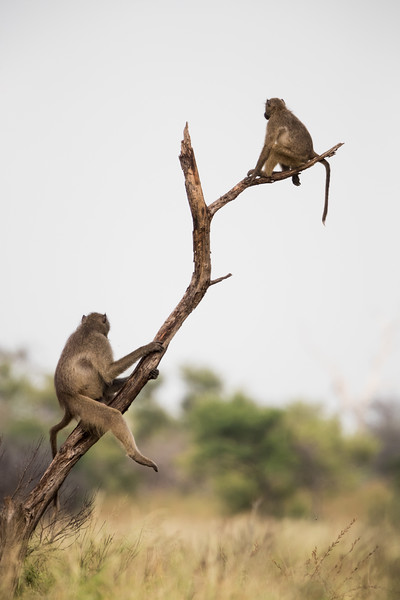 Olive baboons (Papio cynocephalus anubis) on a dead tree trunk. Taken in Kruger National Park, South Africa, Africa.
