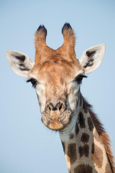 A female South African giraffe (Giraffa (camelopardalis) giraffa). Taken in Kruger National Park, South Africa, Africa.