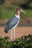 A marabou stork (Leptoptilos crumeniferus). Taken in Kruger National Park, South Africa, Africa.