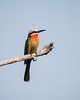A white-fronted bee-eater (Merops bullockoides). Taken in Kruger National Park, South Africa, Africa.