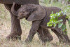 A newborn African elephant (Loxodonta africana) calf stays close to his mother. Taken in Kruger National Park, South Africa.