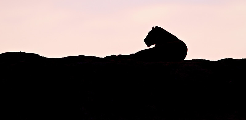 A silhouetted lioness (Panthera leo) after sunset. Taken in Kruger National Park, South Africa, Africa.