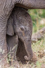 A newborn African elephant (Loxodonta africana) calf underneath his mother. Taken in Kruger National Park, South Africa.