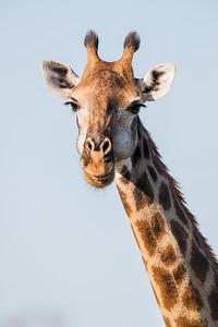 """""""The Smiling Giraffe"""""""