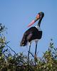 A saddle-billed stork (Ephippiorhynchus senegalensis) atop its nest. Taken in Kruger National Park, South Africa, Africa.